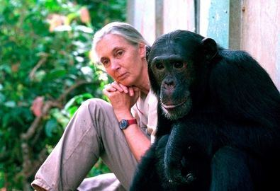 La investigadora, que ha dedicado su vida al estudio de los chimpancés, es fundadora de 'Roots & Shoots', un programa educativo presente en más de 65 países en torno a la conciencia medioambiental.