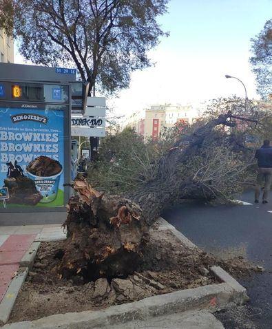 Un árbol de gran porte cae sobre la calzada en Príncipe de Vergara, 228