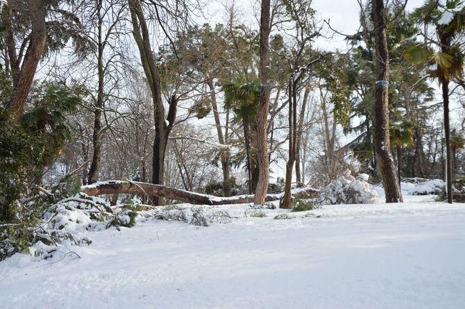 Las inspecciones llevadas a cabo en los parques históricos como la Casa de Campo o El Retiro arrojan un grado de afección que oscila entre el 60 % y el 70 % del arbolado y en los parques singulares, entre el 10% y el 15%.