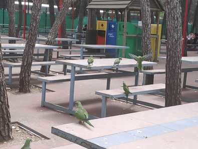 Además de ser vectores de transmisión de enfermedades, los hasta 200 kilos que alcanzan sus nidos ponen en riesgo la seguridad de los ciudadanos en caso de desprendimiento. A este hecho se añade que, por su comportamiento invasor, desplazan a otras aves autóctonas, como los gorriones.