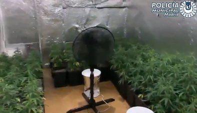 La Unidad Integral del Distrito de Hortaleza de la Policía Municipal de Madrid han arrestado a un joven por tener en una vivienda okupada con 130 plantas de marihuana y defraudar el servicio de suministro eléctrico e hídrico.