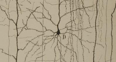 Más de un centenar de piezas, como sus afamados dibujos científicos, la medalla del Nobel y su primer diario de laboratorio, recorren la vida y la obra de Santiago Ramón y Cajal, el padre de las neurociencias. En la imagen, dibujo de Ramón y Cajal que describe la estructura de una neurona del córtex cerebral.
