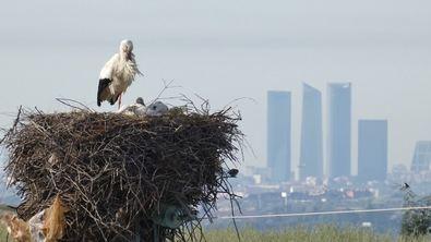 Las ONG destacan que esta puede ser una oportunidad para poner fin a la destrucción innecesaria de nidos, refugios y otras molestias a la biodiversidad urbana por obras de rehabilitación.