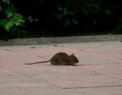 Según los datos del VI Observatorio Nacional de Plagas de Rentokil Initial, las ratas y ratones son la tercera plaga que más molestias causa a los españoles, después de las cucarachas y las termitas.